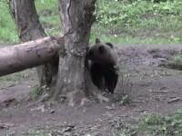 Un pădurar din Argeș a fost atacat de urs. Autoritățile caută animalul