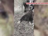 """Au ucis o ursoaică, după care au aruncat cu bere pe ea: """"Pomana porcului, hai să trăim"""""""