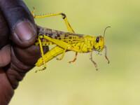 VIDEO. Africa, atacată de al 2-lea val de lăcuste. Rezultatul, combinat cu Covid-19, dezastruos
