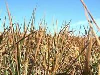 Seceta a distrus culturile de cereale. România, mai potrivită pentru a creşte banane şi kiwi