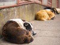 Studiu: Un cercetător crede că noul coronavirus a pornit de la câinii fără stăpân