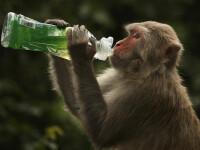 Șase maimuțe injectate cu un nou vaccin au devenit imune la coronavirus