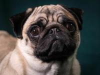Un mops, primul câine din SUA bolnav de coronavirus. Ce alte animale s-au mai infectat