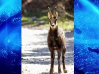 Spectacol în munții Piatra Craiului. Animale rare filmate în locuri altădată pline de turiști