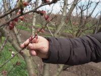 În piețe vom avea fructe puține și scumpe, din cauza primăverii capricioase. Pierderile estimate de specialiști sunt de 90%