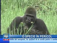 Gorile pe cale de dispariţie descoperite în nordul Republicii Congo