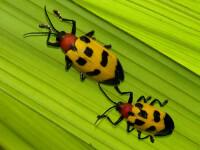 CSID: Atentie la muscaturile de insecte!
