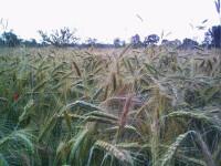Exporturile de cereale au urcat la 132 milioane euro în primele 4 luni
