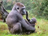 O gorila care manca posete si pahare, diagnosticata cu o boala umana