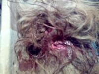 Practica-soc in Bistrita-Nasaud: caini rapiti si aruncati pitbullilor!