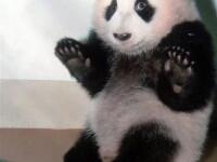 Po, puiul de panda, oaspetele mult asteptat la zoo din Atlanta