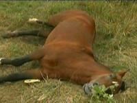 Cei 32 de cai infometati la o ferma din Fierbinti, confiscati de autoritati