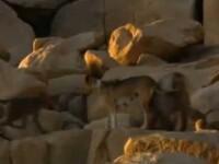 VIDEO. Cainii vagabonzi au devenit animalele de companie ale maimutelor. Ce patesc daca nu asculta
