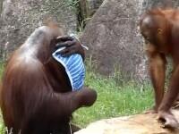 Marea maimutareala. Urangutanul care se comporta atat de uman, incat te astepti sa zica: