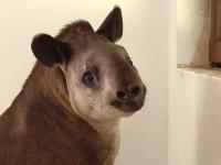 Gradina Zoologica din Timisoara are un nou membru: Otto, un tapir de 11 luni