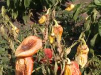 Drama cultivatorilor pe timp de canicula: tone de legume se strica in fata lor in fiecare zi