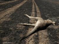 Un al treilea cangur a murit la Gradina Zoologica Bucov, de langa Ploiesti