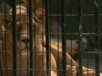 O viata mai buna pentru cei cinci lei de la Gradina Zoologica din Baia Mare