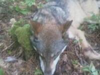 Un adolescent aflat intr-o excursie cu cortul a fost muscat de cap de un lup