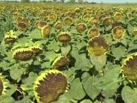 Graurii si gugustiucii au compromis aproape toata recolta de floarea soarelui. Pagubele nu pot fi recuperate prin asiguratori
