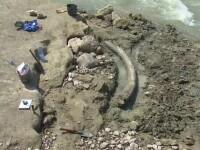 Descoperire impresionanta in judetul Dambovita. Are peste 2 metri si cantareste 250 de kilograme