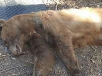 Scandal intr-un oras din SUA. O mama primeste amenintari cu moartea, dupa ce a ucis un urs care ii intra a 3-a oara in casa