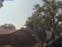Descoperirea făcută de un polițist din SUA când i s-a cerut să prindă un ponei