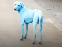 Câini cu blana albastră, pe străzile din Mumbai. Cine ar fi de vină
