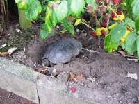 Au găurit carapacea ţestoasei cu bormaşina, ca să o poată lega cât sunt plecaţi