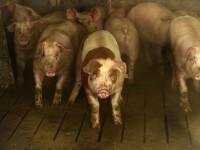 Revoltă într-un sat din Brăila, din cauza pestei porcine. Oamenii îşi apără animalele