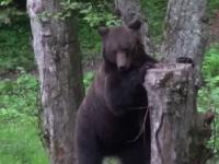 Alertă în Miercurea Ciuc. Un urs, liber pe străzi, a intrat în curtea unei şcoli și a unei case