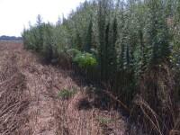 Plantaţie de canabis, pe o insulă din Delta Dunării. I-ar aparţine unui politician
