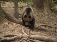 Patru turiști s-au rătăcit prin munți, după ce le-a ieșit în cale un urs