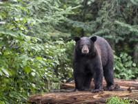 Un urs a devastat curtea unui localnic din Odorhei. Avertisment emis prin RO-ALERT
