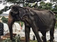 Femela elefant înfometată și obligată să participe la spectacole a murit