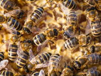 A trăit aproape un an cu 60.000 de albine în tavan. Cum a reacționat când le-a descoperit
