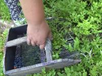 Jumătate din producția de afine de pădure din România a fost compromisă din cauza vremii nevaforabile