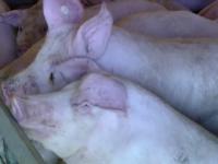 Noi focare de pestă porcină în Galați. Peste 15.000 de porci au fost sacrificați