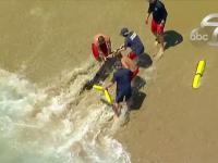 Scene incredibile. Mai mulți salvamari au scos un rechin din apă cu mâinile goale. Ce a urmat
