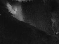 Cum arată un pui de panda nou-născut la Grădina Zoologică din Washington. VIDEO
