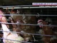 """""""Era cuștii"""", aproape de final. UE le va interzice fermierilor să crească animale în spații înghesuite"""