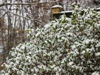 Arbuști acoperiți de zăpadă în fața unui gard