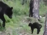 urs contra pisica