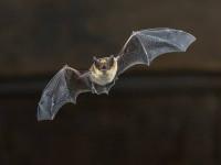 Virusuri înrudite cu SARS-CoV-2, descoperite la lilieci. Cum ne-ar putea ajuta asta în lupta cu pandemia