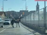 Imagini virale în Iași. Un cal a blocat circulația într-o zonă aglomerată a orașului
