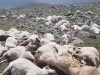 Coșmarul unui cioban. A găsit 550 de oi moarte pe munte, lovite de fulger
