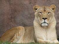 Incident la Gradina Zoologica din Radauti: O tanara de 15 ani din SUA a fost muscata de o leoaica