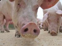 Vesti bune! Liber la exportul de produse din carne de porc
