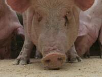 A inceput sezonul de cumparat porci pentru Craciun. Pretul: 7 lei/kg