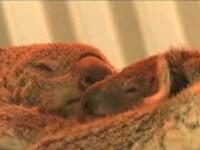 Un ursulet koala face senzatie in L.A!
